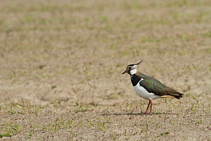 Lapwing (Vanellus vanellus) in cultivated machair with Black oats (Avena strigosa) North Uist, Scotland, UK.  -  David  Woodfall