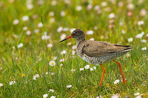 Redshank (Tringa totanus ) in machair amongst daisies. North Uist, Scotland, UK, June.  -  David  Woodfall
