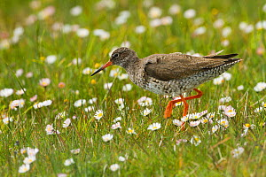 Redshank (Tringa totanus ) in machair amongst daisies. Outer Hebrides. Scotland, UK.  -  David  Woodfall