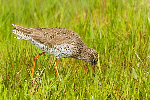 Redshank (Tringa totanus) feeding in machair habitat. North Uist, Scotland, UK, June.  -  David  Woodfall