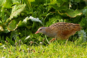 Corncrake (Crex crex) walking at dawn on Machair, North Uist, Scotland, UK, June. - David  Woodfall