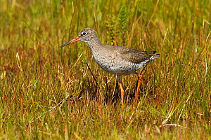 Redshank (Tringa totanus ) calling in machair marsh, North Uist, Scotland, UK, June.  -  David  Woodfall