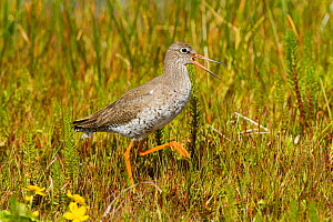 Redshank (Tringa totanus ) calling in machair habitat, North Uist, Scotland, UK, June.  -  David  Woodfall