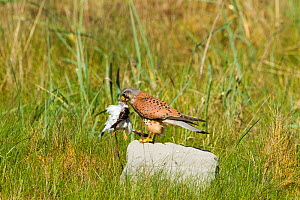 Kestrel (Falco tinnunculus) male in sand dunes with Ringed plover prey (Charadrius hiaticula), Gronant dunes, Prestatyn, Wales, UK, May.  -  David  Woodfall