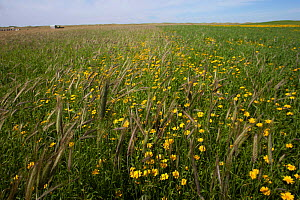 Corn marigold (Chrysanthemum segetum) growing amongst Black oats (Avena strigosa), in strips of cultivated machair. North Uist, Scotland, UK, July.  -  David  Woodfall