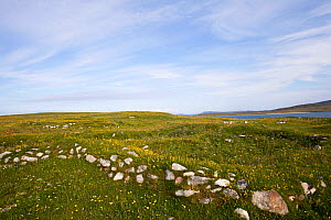 Village disappeared in sand storm in eighteenth century. All that now remains is the walls colonised by limestone loving plants including Ladies Bedstraw (Galium verum) North Uist, Scotland, Uk, July. - David  Woodfall
