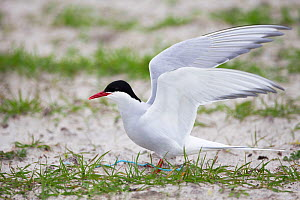 Arctic tern (Sterna paradisaea ) at the nest amongst Black oats (Avena strigosa) in cultivated machair, North Uist, Scotland, UK, June.  -  David  Woodfall