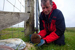 Hedgehog (Erinaceus europaeas) caught in trap to prevent it from predating Little tern and other ground nesting birds' eggs on Machair. This pregnant female will be relocated to the mainland. Nort...  -  David  Woodfall