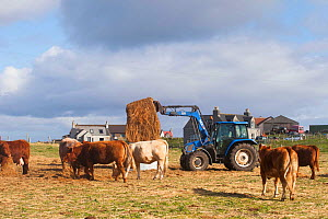 Crofters managing Balranald Nature Reserve by grazing Beef cattle. Farmer distributing hay for cattle. North Uist, Scotland, UK, June.  -  David  Woodfall