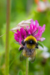 Greater yellow bumblebee (Bombus distenguendus) endemic bee flying from red clover on Machair, Berneray, North Uist, Outer Hebrides, Scotland, UK, July. - David  Woodfall
