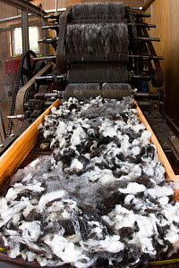 Raw wool going to into carding machine. North Uist, Scotland, UK, July.  -  David  Woodfall