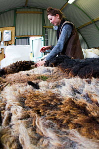 Sorting and grading wool for spinning in woollen mill. North Uist, Scotland, UK, July.  -  David  Woodfall