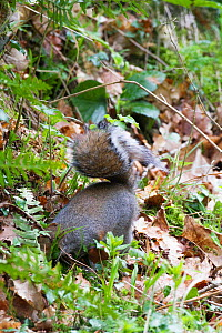 Grey squirrel (Sciurus carolinensis) digging up acorns buried in the autumn, Clocaenog Forest, Denbeighshire, Wales, UK, March.  -  David  Woodfall