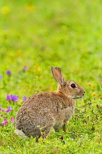 Rabbit (Oryctolagus cuniculus), grazing amongst Purple vipers bugloss, (Echium plantagineum) Cornwall, England, UK, July. - David  Woodfall