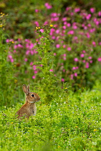 Rabbit (Oryctolagus cuniculus), grazing amongst Red Campion (Silene dioica) Cornwall, England, UK, July.  -  David  Woodfall