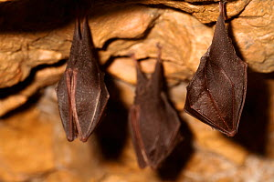 Lesser horseshoe bats (Rhinolophus hipposideros) in magnesium mine, Shropshire, England, UK, April. - David  Woodfall