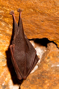 Lesser horseshoe bat (Rhinolophus hipposideros) in magnesium mine, Shropshire, England, UK, April.  -  David  Woodfall