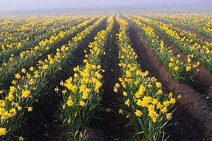 Daffodils in mist (Narcissus spp) grown commercially for bulbs. Caerwys, Flintshire, Wales, UK, April.  -  David  Woodfall