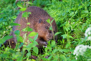 European Beaver (Castor fiber) eating willow at edge of wetland. Captive at Bevis Trust, Carmarthenshire, as part of breeding program to release into the wild. Wales, UK, July. - David  Woodfall