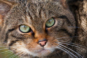 Wild cat (Felis sylvestris) portrait, part of captive breeding project at Alladale Estate, Scotland, UK, October.  -  David  Woodfall