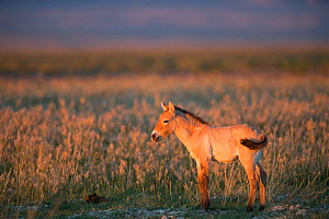 Przewalski horse (Equus ferus przewalskii) foal aged three weeks. Standing in steppe in evening light. Great Gobi B Strictly Protected Area, Mongolia. August. - Cyril Ruoso