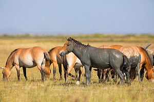 Przewalski horse (Equus ferus przewalskii) herd grazing, stallion covered in mud. Great Gobi B Strictly Protected Area, Mongolia. August. - Cyril Ruoso
