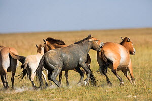 Przewalski horse (Equus ferus przewalskii) herd, stallion biting, covered in mud. Great Gobi B Strictly Protected Area, Mongolia. August. - Cyril Ruoso