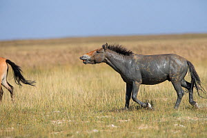 Przewalski horse (Equus ferus przewalskii) stallion baring teeth, covered in mud. Great Gobi B Strictly Protected Area, Mongolia. August. - Cyril Ruoso