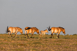 Przewalski horse (Equus ferus przewalskii), group including female and foal, walking. Great Gobi B Strictly Protected Area, Mongolia. August. - Cyril Ruoso