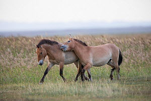 Przewalski horse (Equus ferus przewalskii), stallion and young male playing. Young male escaped from acclimatisation enclosure where reintroduced through European Endangered Species Program. Takhin Ta... - Cyril Ruoso