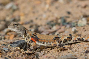 Variegated toadhead agama (Phrynocephalus versicolor) basking. Great Gobi B Strictly Protected Area, Mongolia. August.  -  Cyril Ruoso