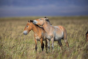 Przewalski horse (Equus ferus przewalskii), two juvenile males playing in steppe. Great Gobi B Strictly Protected Area, Mongolia. August. - Cyril Ruoso