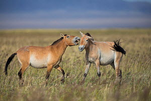 Przewalski horse (Equus ferus przewalskii), two juvenile males playing. Great Gobi B Strictly Protected Area, Mongolia. August. - Cyril Ruoso