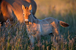 Przewalski horse (Equus ferus przewalskii) foal aged three weeks. In evening light, Great Gobi B Strictly Protected Area, Mongolia. August. - Cyril Ruoso