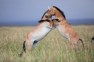 Przewalski horse (Equus ferus przewalskii), two young males playing on hind legs in steppe. Przewalski horse (Equus ferus przewalskii) herd. Great Gobi B Strictly Protected Area, Mongolia. August. - Cyril Ruoso