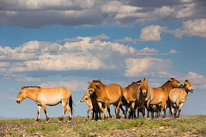 Przewalski horse (Equus ferus przewalskii) herd. Great Gobi B Strictly Protected Area, Mongolia. August.  -  Cyril Ruoso
