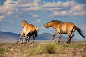 Przewalski horse (Equus ferus przewalskii) stallion chasing mare with a foal. Great Gobi B Strictly Protected Area, Mongolia. August.  -  Cyril Ruoso