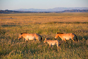 Przewalski horse (Equus ferus przewalskii), two adults and foal walking through steppe. Great Gobi B Strictly Protected Area, Mongolia. August 2018.  -  Cyril Ruoso