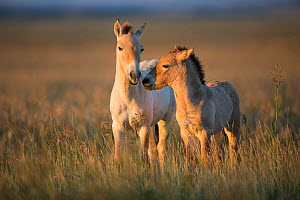 Przewalski horse (Equus ferus przewalskii), two foals aged two months and three weeks, in morning light. Great Gobi B Strictly Protected Area, Mongolia. August.  -  Cyril Ruoso