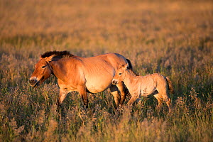 Przewalski horse (Equus ferus przewalskii) female and foal walking through steppe in morning light. Great Gobi B Strictly Protected Area, Mongolia. August.  -  Cyril Ruoso