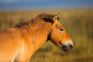 Przewalski horse (Equus ferus przewalskii) in morning light. Great Gobi B Strictly Protected Area, Mongolia. August.  -  Cyril Ruoso