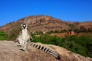 Ringed-tailed lemur (Lemur catta) sunbathing on rock in early morning, granite mountain in background. Anja Community Reserve, Madagascar. 2018. - Cyril Ruoso