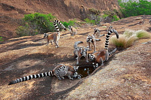 Ringed-tailed lemur (Lemur catta) group drinking from puddle in rock. Anja Community Reserve, Madagascar.  -  Cyril Ruoso