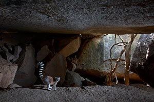 Ringed-tailed lemur (Lemur catta) amongst granite rocks in cave. Lemurs lick minerals from the rocks. Anja Community Reserve, Madagascar. - Cyril Ruoso