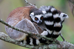 Ringed-tailed lemur (Lemur catta), two sitting and snuggling on branch. Granite mountain, Anja Community Reserve, Madagascar. - Cyril Ruoso