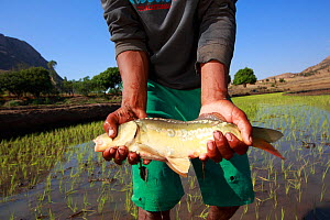 Man holding Carp in Anja Community Reserve. The association AMI who created the reserve helps farmers to increase income through innovation such as fish breeding. This man owns six adult carps, sellin...  -  Cyril Ruoso