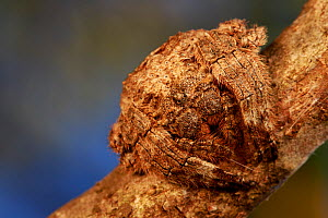 Wrap-around spider. Anja's Reserve, a reserve managed by six villages. Madagascar. uncatalogued  -  Cyril Ruoso