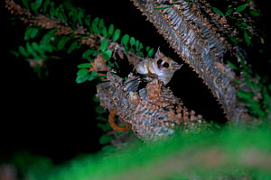 Reddish-grey mouse lemur (Microcebus griseorufus) in spiny tree. Berenty Reserve, Madagascar.  -  Cyril Ruoso