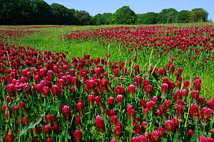 Crimson clover (Trifolium incarnatum), grown as green manure. Yonne, Bourgogne-Franche-Comte, France. April.  -  Cyril Ruoso