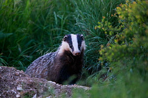 Badger (Meles meles) emerging from sett at dusk. Yonne, Bourgogne-Franche-Comte, France. April.  -  Cyril Ruoso